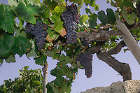 Canarian Grapes and vines. San Miguel de Abona, Tenerife, Canary Islands.