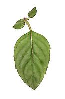 Whorled Mint - Mentha x verticillata
