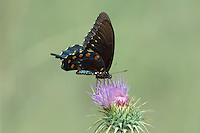 390470035 a wild pipevine swallowtail butterfly battus philenor feeds on a new mexico or desert thistle cirsium neomexicanum at empire creek in las cienegas natural conservation area pima county arizona