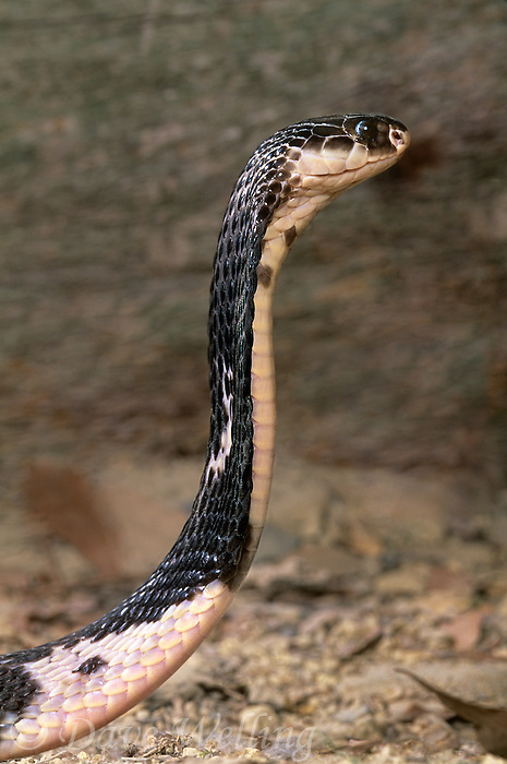414314012 a captive black and white spitting cobra naja nigricolis rears up in a threat posture - species is native to west africa