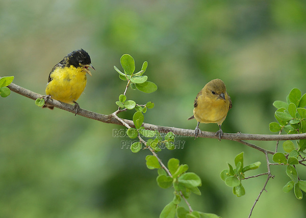 Lesser Goldfinch (Carduelis psaltria), adult male with young, Hill Country, Texas, USA