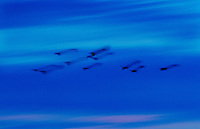 Kakadu Wildlife... magpie geese blur into the evening skies over the park.
