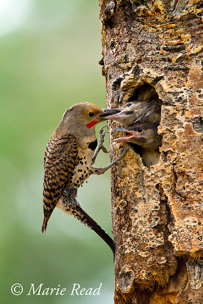 Northern Flicker (Colaptes auratus), red-shafted form, male feeding two nestlings looking out of nest cavity, Mono Lake Basin, California, USA