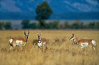 673080008 a buck and two doe pronghorn antelope antilocarpa americana pose in a large open grassy field below the tetons in grand teton national park wyoming