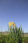 Israel, Lower Galilee, Narcissus flowers (Daffodils) at Beit Netofa valley