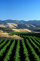 Rows of GRAPE VINES planted up to the rolling hills of the - SALINAS VALLEY, CALIFORNIA
