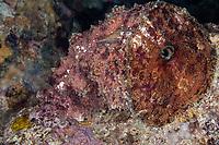 Blunt-end Sea Hare, Dolabella auricularia, night dive, Cuts & Grottos dive site, Tutuntute, near Uhak village, Wetar Island, near Alor, Indonesia, Banda Sea, Pacific Ocean