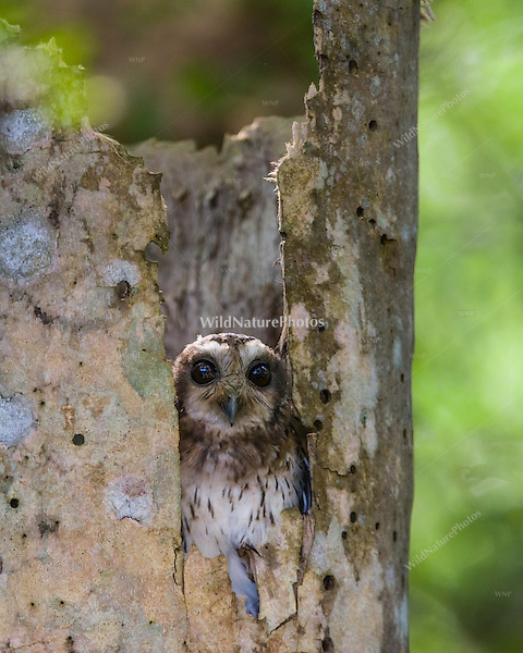 A Cuban Screech Owl (Margarobyas lawrencii) looks out from a roost tree, near Bermejas, Zapata Peninsula, Cuba.