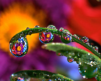 Purple chrysanthemum reflecting in dew drop