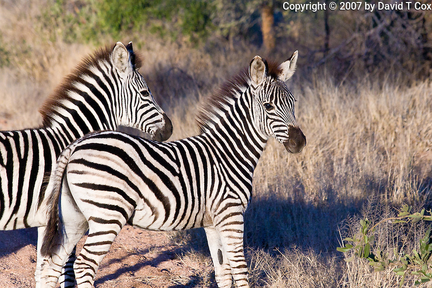Burchell's Zebra young, Kruger, South Africa