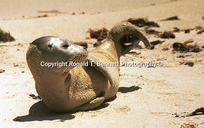 California seal lion, sea lion, seals, otariid, pinnipeds, wing foot, feather foot, seals, marine mammals, flippers, disambiguation, otaruudaem, blubber, carnivores, Fine Art Photography, Ronald T. Bennett (c) Fine Art Photography by Ron Bennett, Fine Art, Fine Art photography, Art Photography, Copyright RonBennettPhotography.com ©