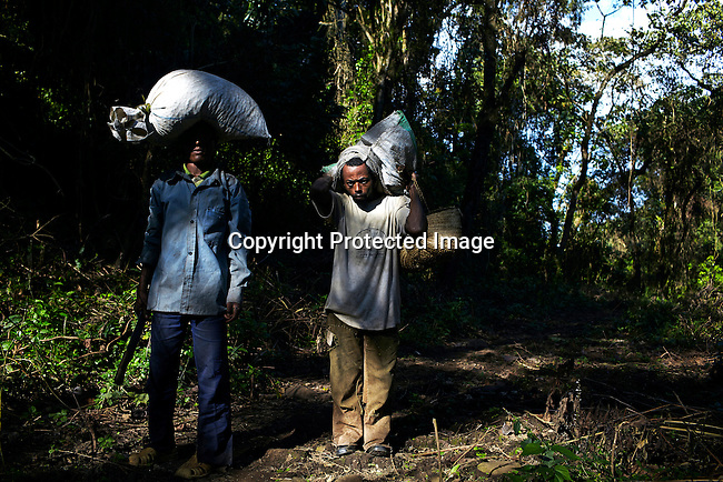 BONGA, ETHIOPIA:  Men carry bags with wild coffee beans which they pick deep into the forest on December 9, 2012 outside Bonga, Ethiopia. The Kaffa region is known for its coffee production, wild coffee grown in high altitudes. This region is the original home of the coffee plant, coffee Arabica which grows in the forest of the highlands. The red berries are the main source of income in the area. Children and cattle also drink coffee. (Photo by: Per-Anders Pettersson)
