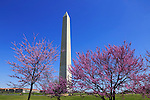 The Washington Monument And Trees In Full Bloom on a Sunny Spring Day in Washington DC, USA