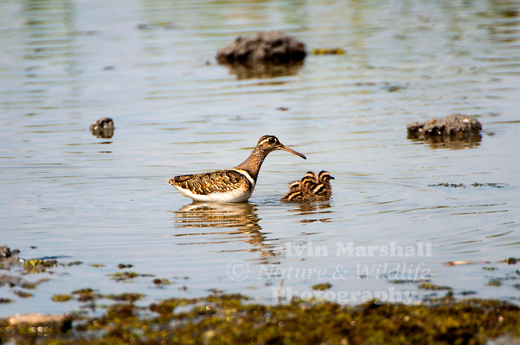 Male Greater painted-snipe (Rostratula benghalensis)  - with chicks, is a species of wader in the family Rostratulidae. Bundala National Park (Sri Lanka)