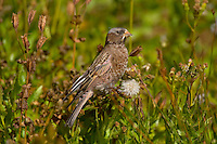 Gray-crowned Rosy Finch (Leucosticte tephrocotis) eating seed.  Glacier National Park (alpine area), Montana.  Sept.