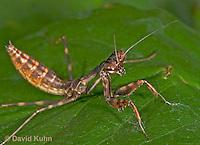 "0203-07qq  Budwing Mantis ""Nymph"" - Parasphendale agrionina ""Nymph"" © David Kuhn/Dwight Kuhn Photography"