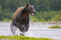 A dark male grizzly bear hunts. Kodiak grizzly bear (Ursus arctos middendorffi), Kukak Bay