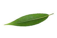 Silber-Weide, Silberweide, Weissweide, Weißweide, Weide, Salix alba, White Willow, Le Saule blanc, Saule commun, Saule argenté, Osier blanc, Saule Vivier. Blatt, Blätter, leaf, leaves