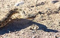 Snake - Western Rattlesnake