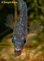 1S14-597z  Male Threespine Stickleback, Mating colors showing bright red belly and blue eyes, close-up of face, Gasterosteus aculeatus,  Hotel Lake British Columbia