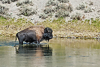 Buffalo swimming in Yellowstone River