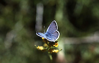 ANNA'S BLUE BUTTERFLY