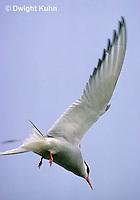 MC59-060z  Arctic Tern - flying above island - Machias Seal Island, Bay of Fundy - Sterna paradisaea