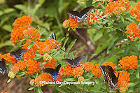 03004-01403 Pipevine Swallowtails (Battus philenor) on Butterfly Milkweed (Asclepias tuberosa) Reynolds Co., MO