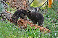 "Wild Black Bear (Ursus americanus) cubs investigating fallen log.  Western U.S., spring. (This is what is known as ""coys""--cubs of the year.)"