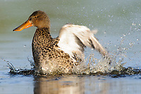 Adult female Northern Shoveler (Anas clypeata) bathing. King County, Washington. April.