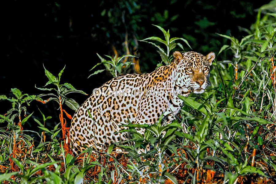 Animais. Mamiferos. Onça pintada (Panthera onca) no Pantanal. 2010. Foto Juca Martins