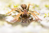 Gravid raft spider (Dolomedes fimbriatus) on pond surface. Arne, Dorset, UK.