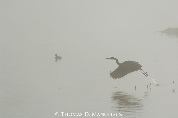 Great Blue Heron taking flight in Yellowstone National Park.