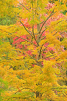 Cypress and Sourwood tree in autumn, Washington