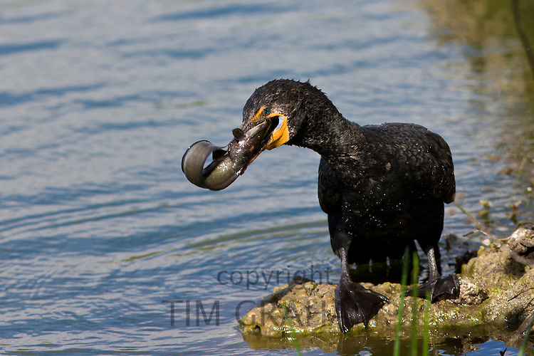 Cormorant with live fish caught in river, Everglades, Florida, United States of America