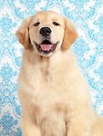 Cute portrait of a four month old Golden Retriever puppy