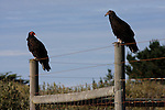2 turkey vultures on fence at Ano Nuevo State Park