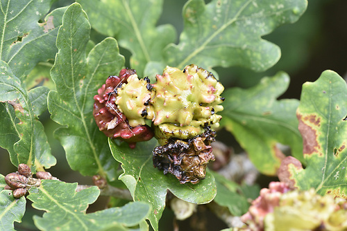 Knopper Gall - caused by wasp Andricus quercuscalicis
