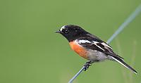 Australia has so many beautiful bird species, including several dynamic robins.