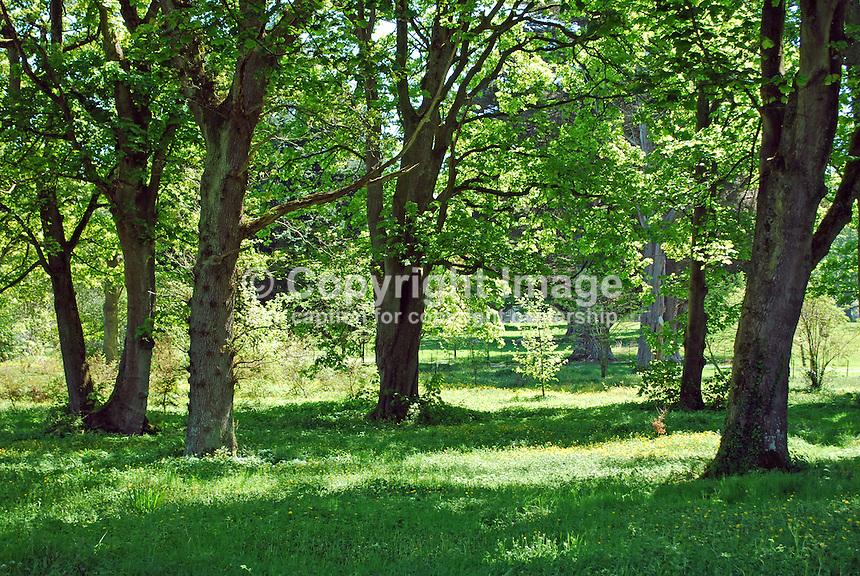 Woodland, Glenarm Castle estate, Co Antrim, N Ireland, UK, 201205265882..© Victor Patterson, 54 Dorchester Park, Belfast, N Ireland. Tel: +44 2890661296; Mobile: +44 7802 353836; Emails: victorpatterson@me.com & victorpatterson@gmail.com; www.victorpatterson.com