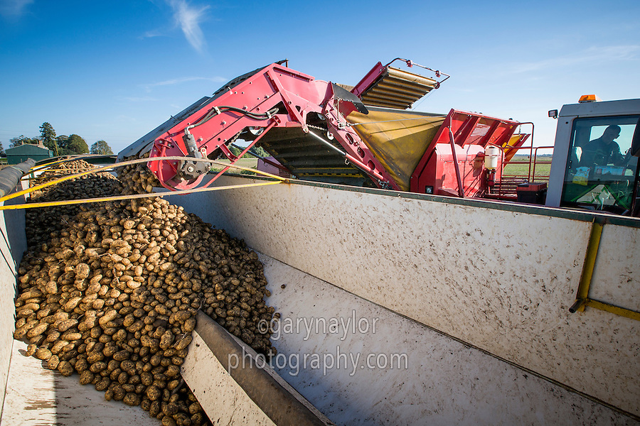 Grimme Tectron 415 harvester loading Ramos potatoes into a lorry bulker - September, Cambridgeshire