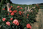 'WINE IN ENGLAND, SOMERSET', THE VINEYARD AT NORTH WOOTTON. TRADITIONALLY ROSES ARE GROWN WITH VINES & ARE SUSCEPTABLE TO SIMILAR DISEASES SUCH AS GREEN FLY ETC. WHICH SHOW FIRST ON ROSES. THEREFORE THEY ARE NOT JUST THERE TO BE ATTRACTIVE, BUT ALSO AS AN INSECT INFESTATION WARNING DEVICE, 1989