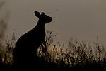 Eastern Grey Kangaroo (Macropus giganteus) female looking at flying insect, Mount Taylor Nature Reserve, Canberra, Australian Capital Territory, Australia