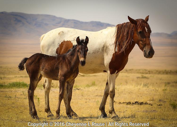 Sweet little Mustang - Wild horse - Utah