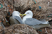 Black-legged kittiwake (Rissa tridactyla) in Courtship. They like most birds have a courtship ritual. An intimate moment it seems between two birds. After a session of nest building lasting a few hours, a little downtime.
