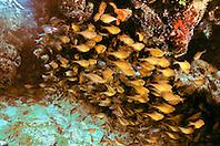 schooling glassy sweepers, sheltering under ledge, Pempheris schomburgki, Pickles Reef, Islamorada, Florida  Keys National Marine Sanctuary, Atlantic Ocean