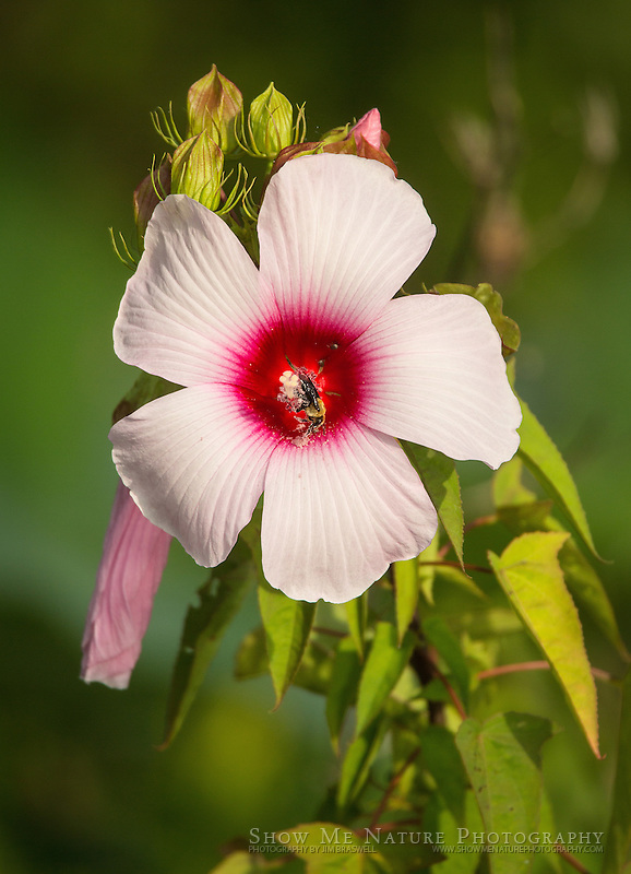 Rose Mallow wildflower