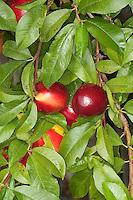 Nektarine, Obst, Obstbaum, Prunus persica var. nucipersica, Nectarine, Die Nektarine ist eine Mutation des Pfirsichs mit glatter anstelle der sonst leicht pelzigen Haut.