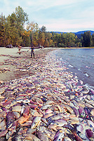 Annual Adams River Sockeye Salmon Run (Oncorhynchus nerka), Roderick Haig-Brown Provincial Park near Salmon Arm, BC, British Columbia, Canada - Dead Fish rotting along Shore of Shuswap Lake - note people working to clean up shoreline