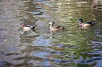 Ducks at Irvine Regional Park in Orange